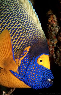 Yellow-mask-angelfish, Pomacanthus xanthometopon, Indian Ocean, Ari Atol, Maldives Island