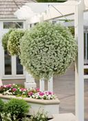 Lobularia Snow Princess  This vigorous grower is no ordinary alyssum. Tough-as-nails Snow Princess loves heat and blooms continuously for months—it does wonders for hanging baskets, and turns heads when combined with petunias or coleus in beds and containers. Long-blooming flowers smell intensely of honey. Source: See store locator at www.provenwinners.com.