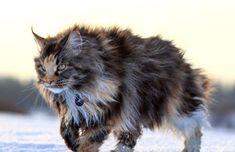 Tìm hiểu giống mèo Maine Coon khổng lồ nhất hành tinh