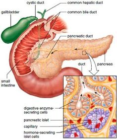 1) Liver anatomy- The liver is located in the upper right-hand ...