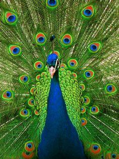 Pavo real de frente http://www.animalesomnivoros.es/aves-omnivoras/