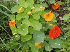 Fue buena idea plantar capuchinas por el huerto, le dan mucho color. Las hay naranjas, rojas, amarillas... :)