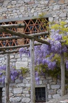 Photo of the fragrant wisteria sinensis inLucchio, Tuscany in Italy, Europe.