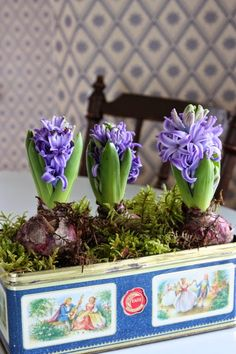 Purple hyacinths planted in a vintage tin