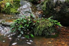 Everything To Know About Bucephalandra