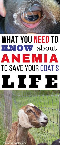 When it comes to raising goats, there is nothing scarier than a sick goat and no clue what to do. Anemia in goats can be a silent killer. Learn now to diagnose and treat anemia in your goats so they stay at their healthiest. Raising Goats | Goat Care | Raising Goats for Beginners | Goat Health