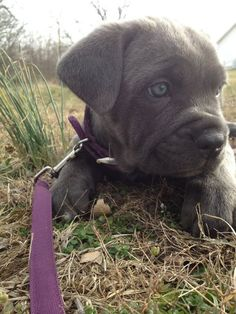 Blue Brindle Cane Corso Italian Mastiff Puppy