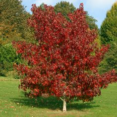 Liquidambar styraciflua, commonly called American sweetgum, sweetgum, sweet gum, sweet-gum (sweet gum in the UK), hazel pine, American-storax, bilsted, red-gum, satin-walnut, star-leaved gum, or alligator-wood is a deciduous tree in the genus Liquidambar native to warm temperate areas of eastern North America and tropical montane regions of Mexico and Central America.
