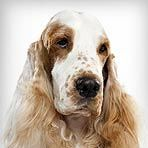 My Recommended Dog Breed is an English Cocker Spaniel (96% match) Yay i actually love this dog, and it come in so many colors!      English Cocker Spaniel 96% match