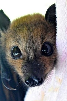 -- How could you be scared of this cute face! Bat -- How could you be scared of this cute face!Bat -- How could you be scared of this cute face! Cute Creatures, Beautiful Creatures, Animals Beautiful, Nature Animals, Animals And Pets, Wild Animals, Fruit Animals, Cute Baby Animals, Funny Animals