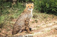 This was taken at a private game lodge in the Sabi Sands cheetah-pic003l