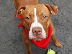 TO BE DESTROYED - WEDNESDAY - 10/22/14  Manhattan Center My name is SCRAPPY. My Animal ID # is A1016154. ***  *** *** $150 DONATION to NEW HOPE RESCUE that pulls!! *** I am a male brown and white pit bull mix. The shelter thinks I am about 3 YEARS old. I came in the shelter as owner surrender reason stated was NO TIME.  https://www.facebook.com/Urgentdeathrowdogs/photos/a.611290788883804.1073741851.152876678058553/886296394716574/?type=3&theater
