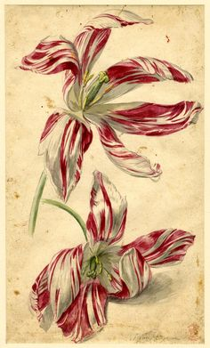 Jan van Huysum, Flower study, formerly in an album; a variety of Tulip, two flowers, pink and whiteWatercolour Nature Prints, Botanical Drawings, Botanical Prints, Drawings, Scientific Illustration, Watercolor Flowers, Plant Drawing, Flower Drawing, Vintage Botanical Prints