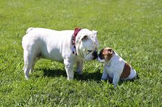 Thurber, the University of Redlands' current mascot, greets Adelaide (Addie), the mascot-in-training, for the first time. Bulldog Mascot, Bulldog Puppies, Cute Puppies, Cute Dogs, Dogs And Puppies, Doggies, University Of Redlands, English Bulldogs, Cute Photos