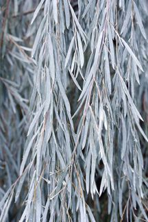 A choice accent or street tree, this graceful evergreen long-lived native of Australia displays weeping branches clothed in inch silvery blue-grey leaves. Australian Native Garden, Australian Flowers, Australian Plants, Bush Garden, Moon Garden, Horticulture, Weeping Trees, Silver Plant, Small Yellow Flowers
