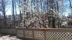 Bradford+Pears+blooming+-+view+from+my+deck
