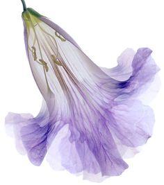 yesiamarayoffuckingsunshine:    Lavender Crinoline (Marsha Tudor)