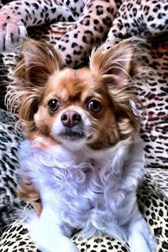 Corky - Long Hair Chihuahua - Blending in with the leopard print