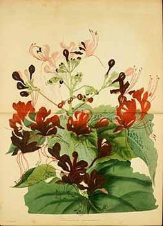 189004 Clerodendrum speciosissimum Drapiez / Magazine of botany and register of flowering plants [J. Paxton], vol. 3: p. 271 (1839) [?]