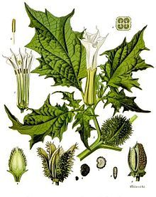 Datura stramonium, known by the common names Jimson weed, Devil's snare, or datura, is a plant in the Solanaceae (nightshade) family. It is believed to have originated in the Americas, but is now found around the world. #曼陀罗