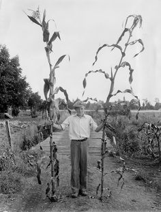 """How high is your corn this week? Try beating """"Golden King corn stalks, 1933""""! OSU Special Collections & Archives : Commons, via Flickr"""