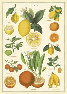 Lemons, limes, oranges, and tangerines are among the citrus fruits featured on Cavallini& Citrus Chart Decorative Wrap. You don& have to be a gardener to appreciate the beauty in these vintage botanical images. Vintage Botanical Prints, Botanical Drawings, Botanical Art, Vintage Prints, Vintage Posters, Vintage Botanical Illustration, Botanical Posters, Vintage Illustrations, Retro Posters