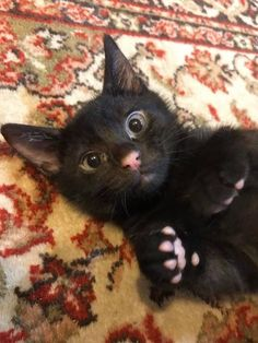 A black kitten with a pink nose and pink pads! How adorable! A black kitten with a pink nose and pink pads! How adorable! Cute Black Cats, Cute Cats, Funny Cats, Pretty Cats, Beautiful Cats, I Love Cats, Crazy Cats, Black Cat Adoption, Cats For Adoption