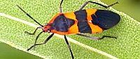 Assassin Bugs & Ambush Bugs of Kentucky - University of Kentucky Entomology