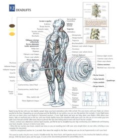 deadlift anatomy