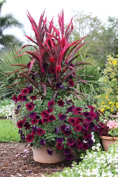 Deep, dark colors add richness to any color scheme. This fun container features burgundy petunias, pink ti plant and white euphorbia. Best in a little afternoon shade, the ti plant (also called Cordyline) makes a dramatic statement with its upright color and contrasting burgundy-and-hot-pink leaves. The tones are the ideal complement to burgundy petunias. A little white euphorbia adds softness early in the season (though later in the season, it may get covered up by the petunia!).
