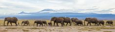 Majestic Africa - Mt. Kilimanjaro - Grand elephants featured in front of the the grand Mt. Kilimanjaro!  Taken in Amboseli National Park in Kenya while on Easter break. Amazing animals to witness and just stunning views of the mountain.