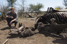 Harry crouched down look more closely at the rapidly decomposing corpse of the animal, who was killed alongside her two-year-old calf. Rangers explained that the mother had been slaughtered first and that her baby would have been killed when it came looking for her