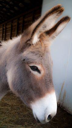 Donkey portrait - by Richard Hamilton on More farm animals Baby Donkey, Cute Donkey, Mini Donkey, Baby Cows, Donkey Funny, Baby Elephants, Farm Animals, Animals And Pets, Funny Animals