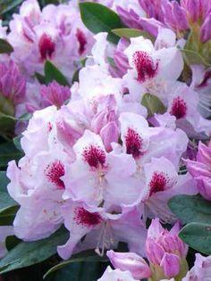Rhododendron Hybride 'Gundula' , Rhododendron 'Gundula'-Großblumige Rhododendren - Rhododendron-Azaleen - Baumschule New Garden- Baumschule NewGarden