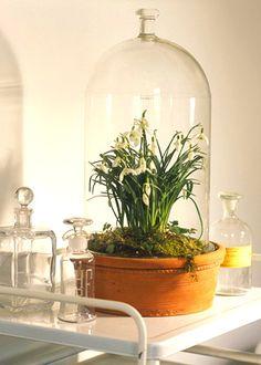 glasklokke med vintergækker
