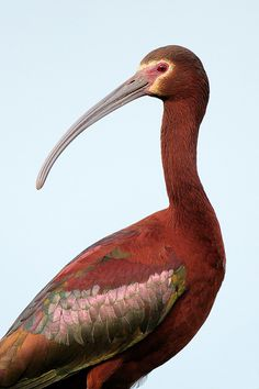 White-faced Ibis, South Louisiana. Photo: David Chauvin.