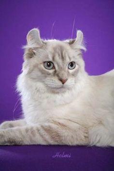 Highlander Kitty.  So pretty