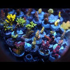 Frags!!! #acropora #aquarium #amazingcoral #allmymoneygoestocoral #coral #coralfrag #coralporn #coralwhores #drfragit #frag #frags #idfragthat #r2r #reef #reeflife #reeftank #reef2reef #reeferdise #saltlife #showtank #fishtanks #fishtankfanatics #coraladdict #coralfreaks #coraltank #aquaculture #reefbuilders #frags