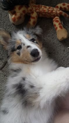 Blue Merle Rough Collie - Mishka