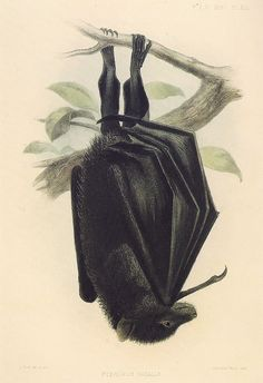 bat Pteropus natalis ~ J. Illustration Botanique, Illustration Art, Vintage Illustrations, John Kenn, Maleficarum, Halloween Bats, Samhain Halloween, Halloween Ideas, Historia Natural