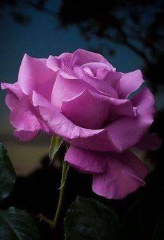 Top 10 beautiful flowers-Rose-Rose Flower-Beautiful Roses-Beautiful Rose Flowers PART Amazing Flowers, Beautiful Roses, My Flower, Beautiful Flowers, Pretty Roses, Simply Beautiful, Lavender Roses, Purple Roses, Purple Flowers