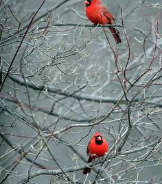 """""""Two red cardinals in Northeastern Ohio."""" (Courtesy daveantphoto/myBudgetTravel)"""