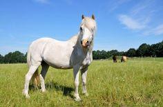 Pferderassen: Das Highland Pony...