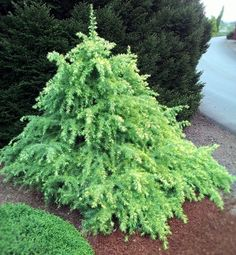 Cedrus deodara 'Snow Sprite' A dwarf Himalayan Cedar with tighter conical shape and weeping white-tipped branches. Prefers partial shade and pruning. https://kiginursery.com/dwarf-miniatures/cedrus-deodara-snow-sprite/?utm_campaign=Pinterest%20Buy%20Button&utm_medium=Social&utm_source=Pinterest&utm_content=pinterest-buy-button-1b3bfe783-fa35-417c-b332-7d35458737e8
