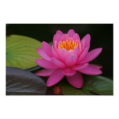 Lotus Flower Colors, Lotus Flower Pictures, Pink Lotus, Pink Flowers, Red Lotus Tattoo, Lotus Art, Red Lily, Flower Prints, Beautiful Flowers