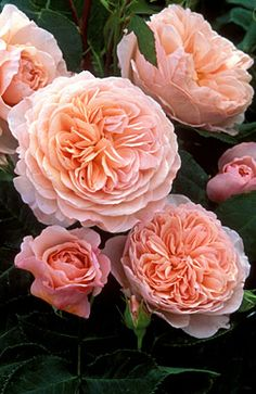Rosa 'William Morris' | Right Plants 4 Me