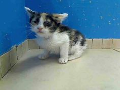 5 week old Princess & her family need out of NYCACC NOW!!! TO BE DESTROYED 6/1/13 Manhattan Center  My name is PRINCESS. My Animal ID # is A0966450. I am a female calico and white domestic sh mix. The shelter thinks I am about 5 WEEKS old.  I came in the shelter as a STRAY on 05/25/2013 from NY 11369, owner surrender reason stated was STRAY. I came in with Group/Litter #K13-138568.