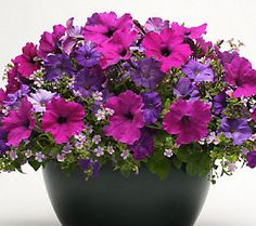 Cottage Farms 3-piece Healing Waters Mixed Garden - each pot contains one 'Shock Wave Denim' petunia, 'Blue' bacopa and 'Easy Wave Violet' petunia.