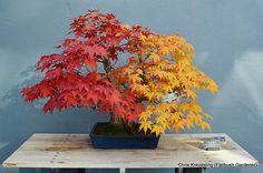2 Varieties of Japanese Maple Bonsai