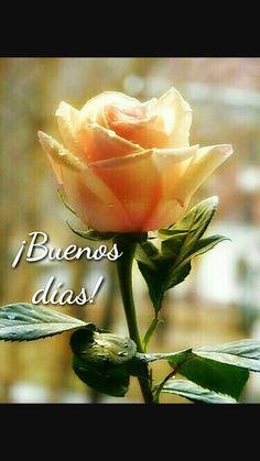 Rosas Blancas Con Frases De Amor Frases Reflexiones Y